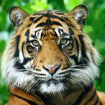 ¿Qué es una raya más para un tigre?
